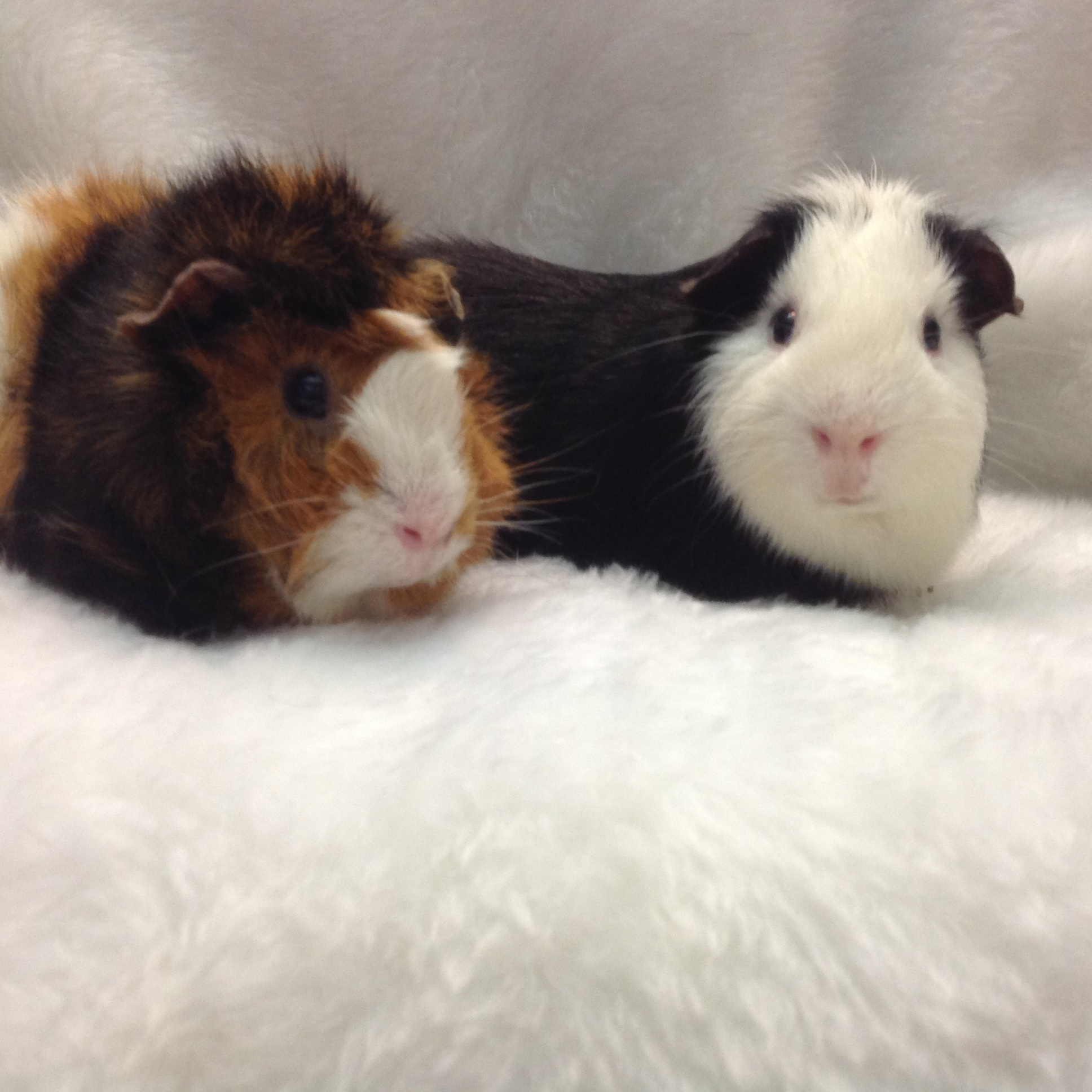 Available Guinea Pigs