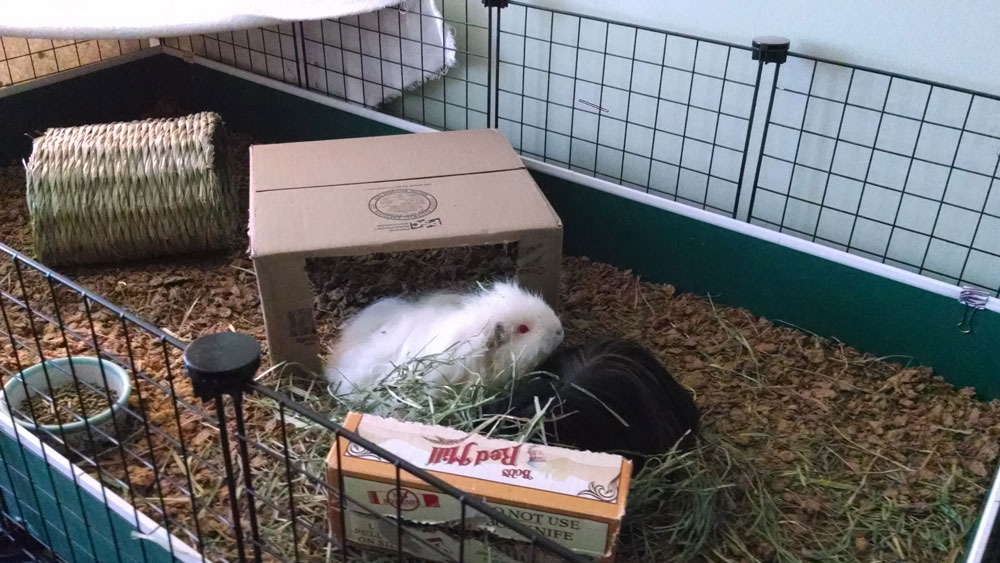 Guinea pig resources for How to clean guinea pig cages